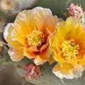 Brown-spined Pricklypear Cactus