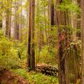 Del Norte Redwoods, Crescent City, California  -1