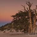 ancient_bristlecone_pine-10-7