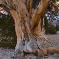 ancient_bristlecone_pine-9-1-3